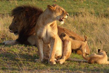 simba-marara-and-pride